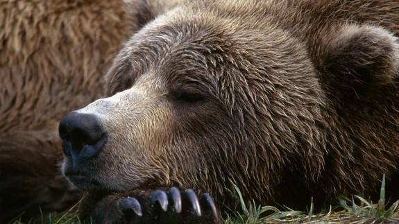ours qui hiberne