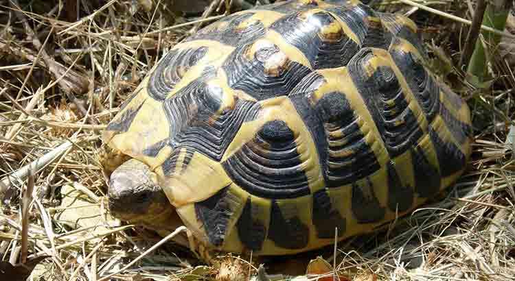 tortue qui entre en hibernation