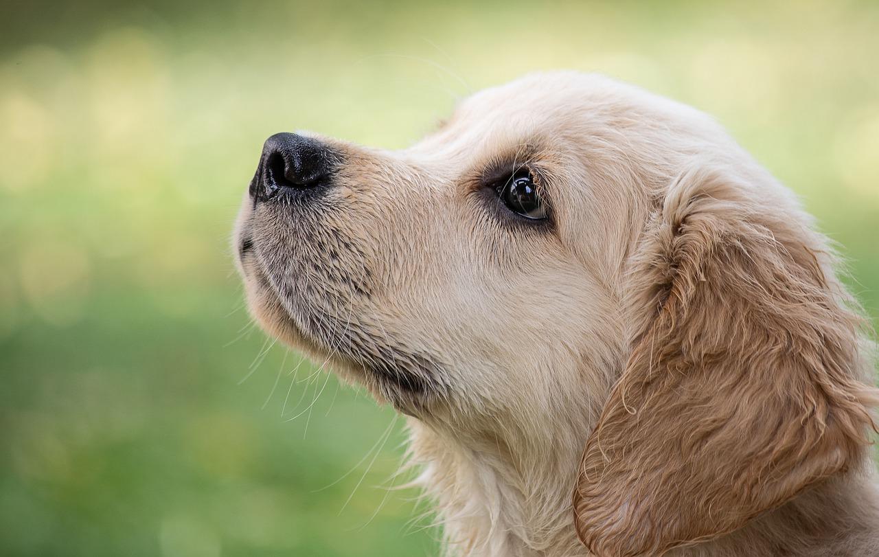 Golden Retriever chien calme
