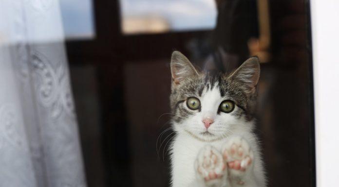 chat seul qui regarde par la fenêtre