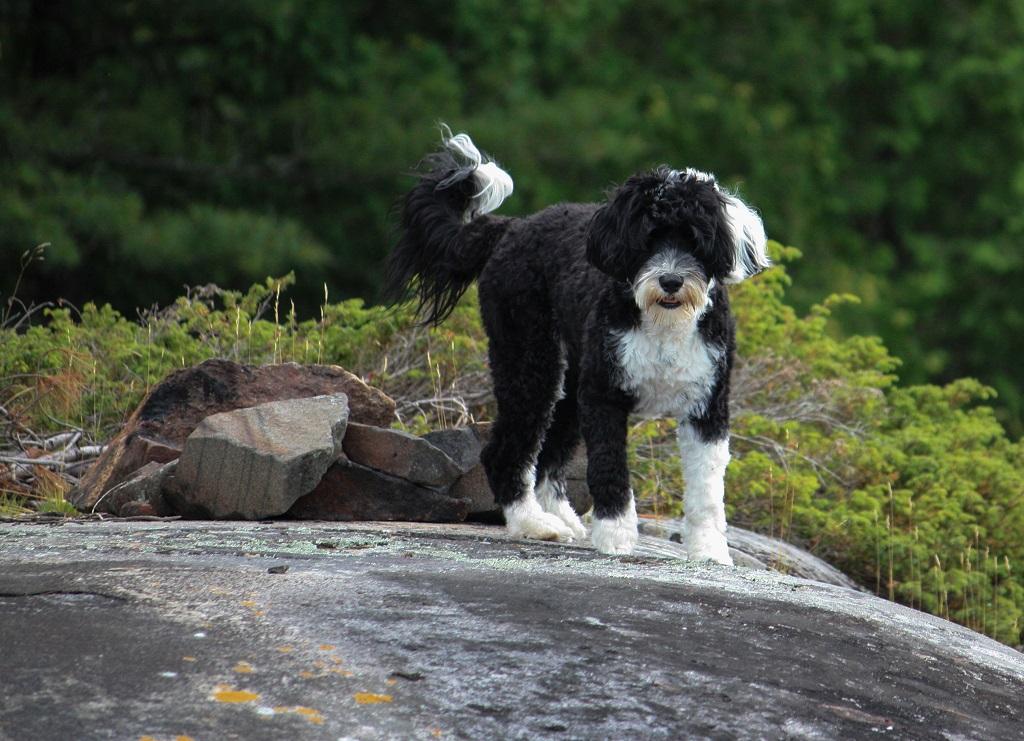 chien d'eau portugais chien de chasse