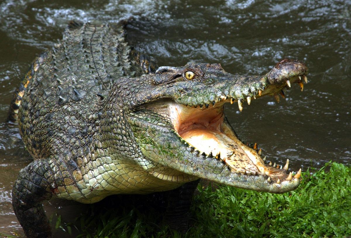 dents du crocodile
