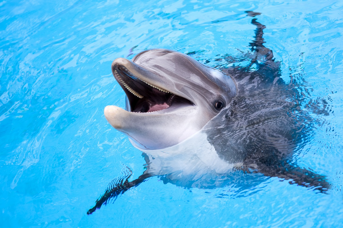 dauphin dents