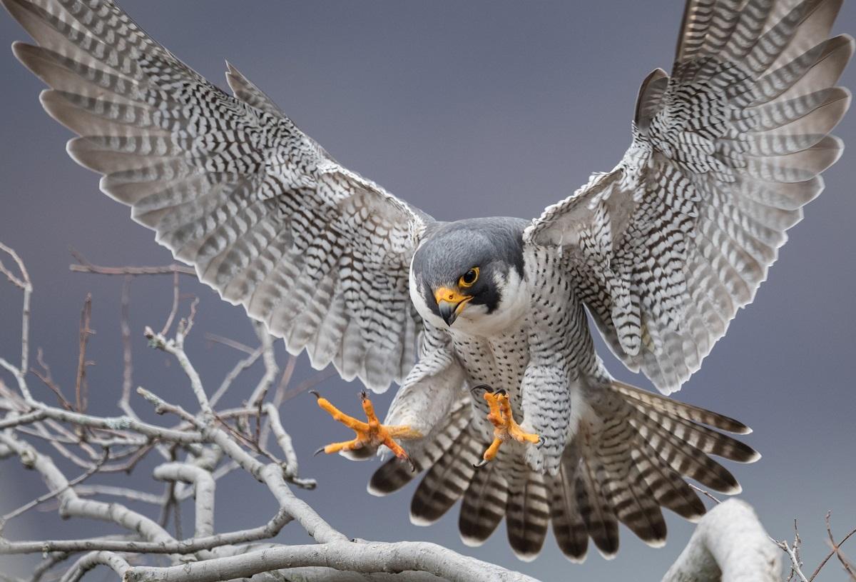 faucon pèlerin qui attrape une proie