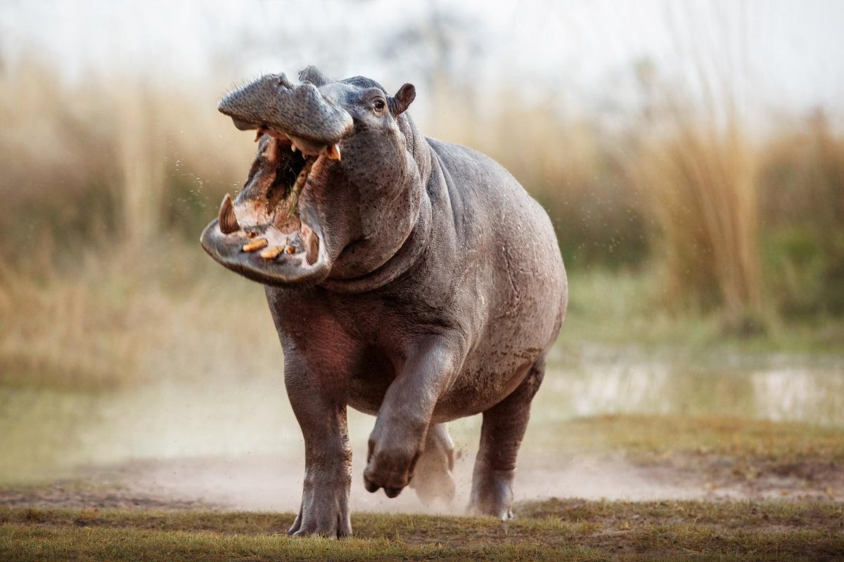 hippopotame qui montre ses dents