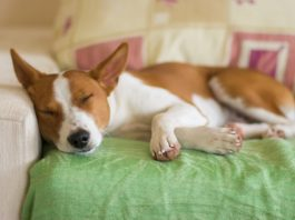 races de chien calme