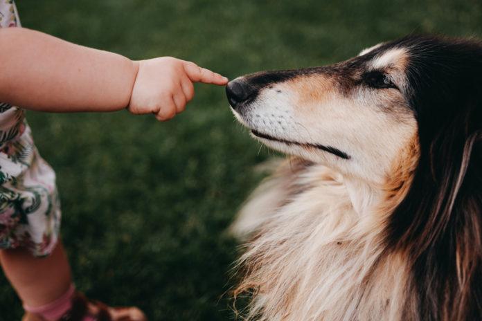12 meilleures races de chien de berger