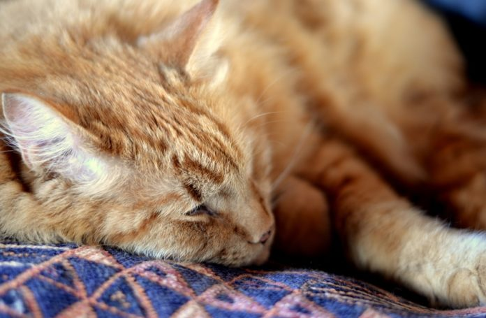 Comment connaitre l'age d'un chat en age humain