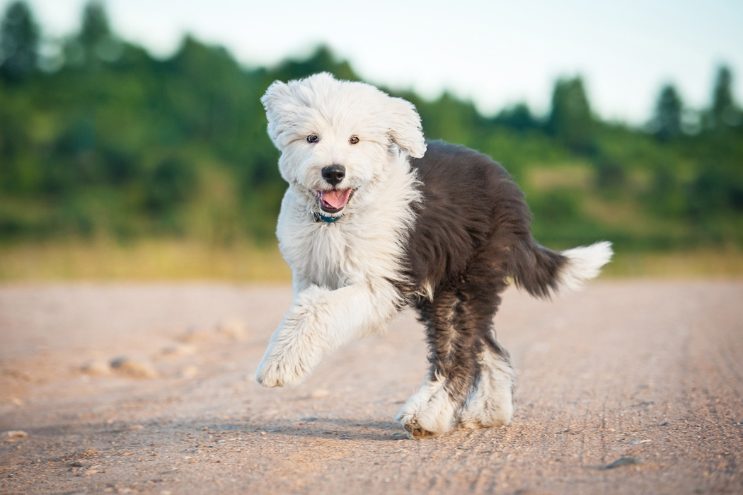 Le chien Bobtail