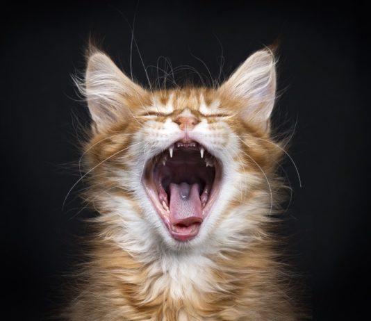 dents de lait chez le chat
