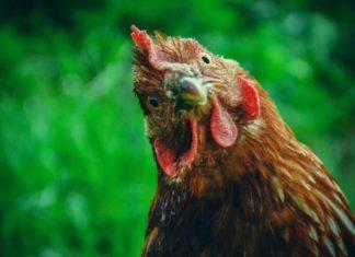 durée de vie d'une poule