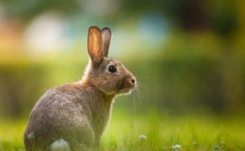espérance de vie d'un lapin