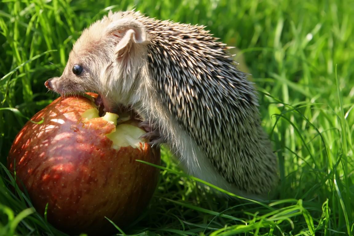 hérisson qui mange une pomme