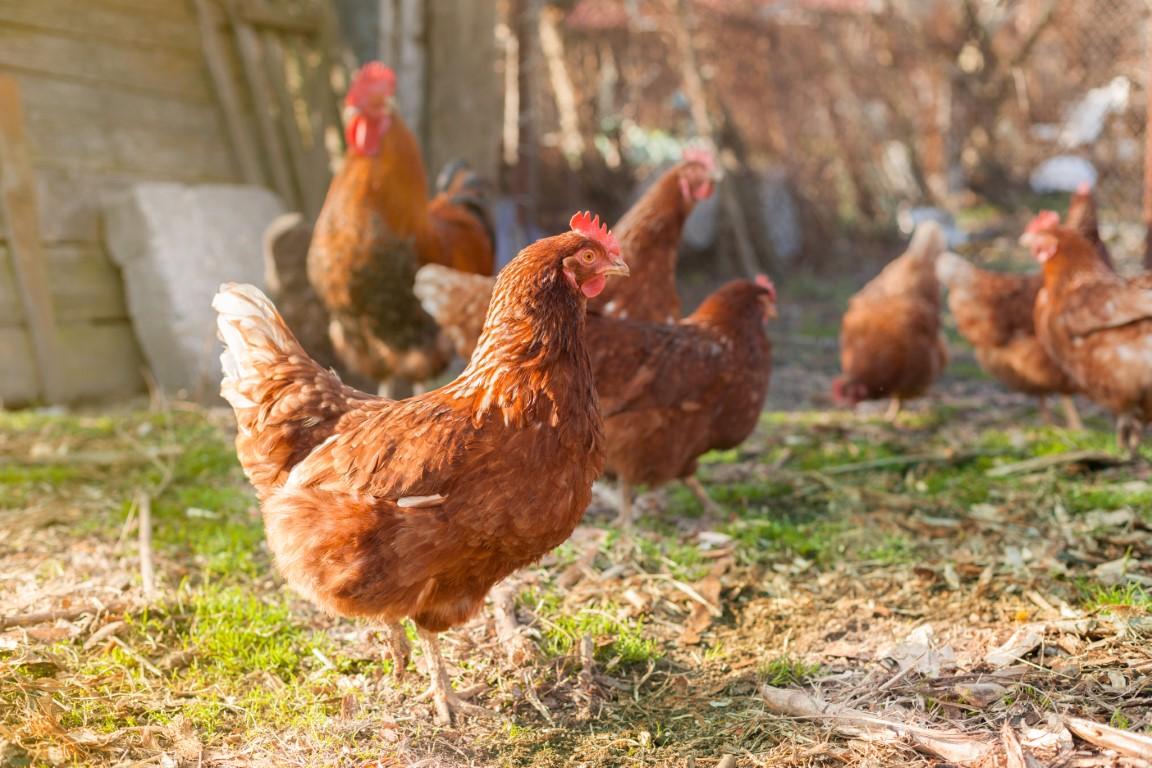 poules fermières