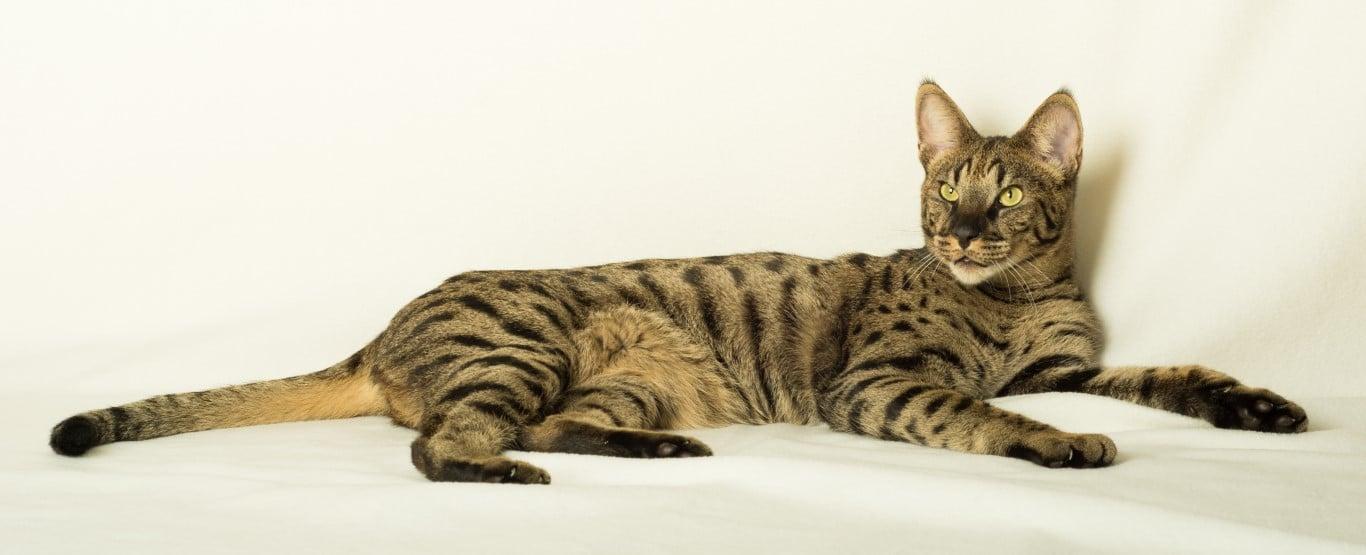 Savannah chat le plus haut
