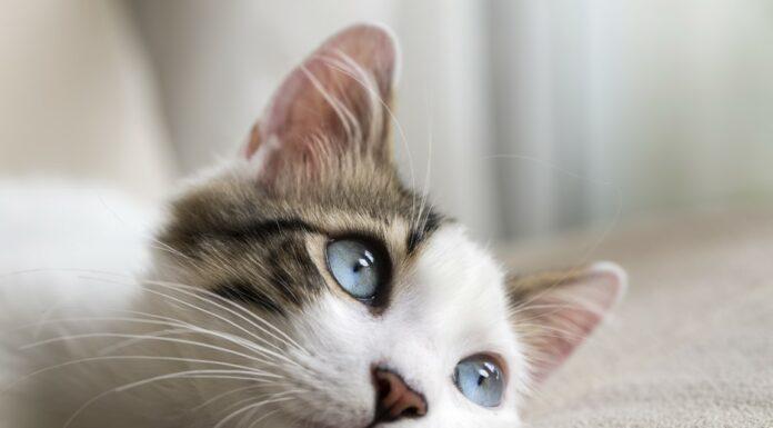Terre de diatomée chez le chat