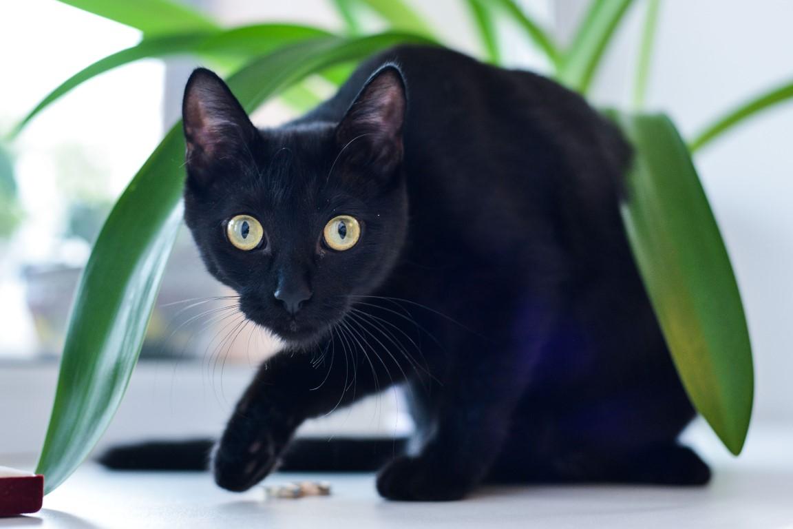 chat Bombay qui joue avec une plante d'intérieur