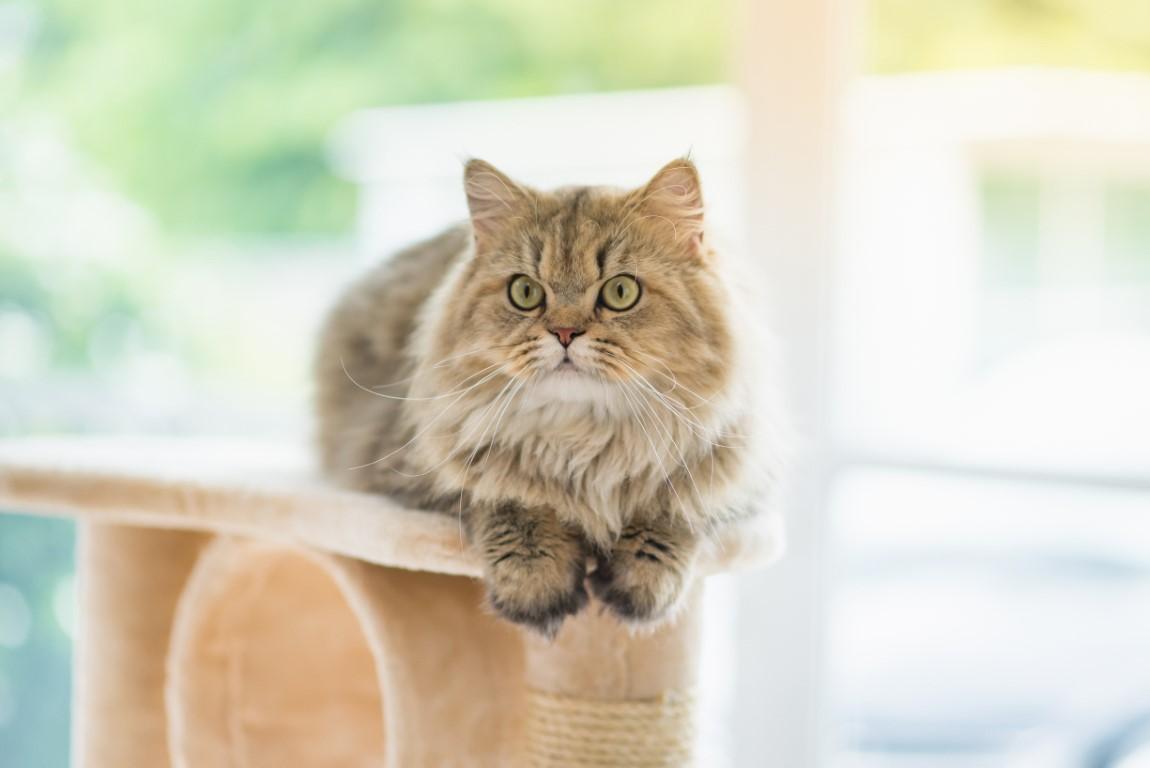 chat persan en intérieur