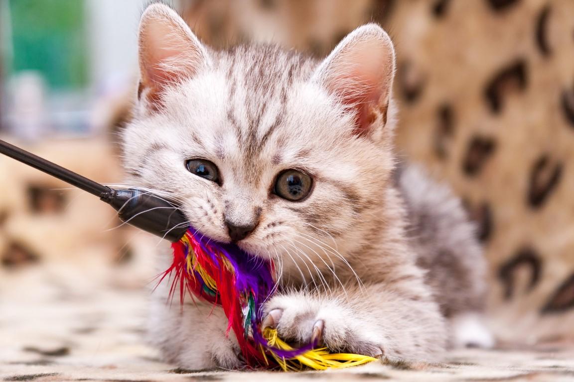 chaton qui joue