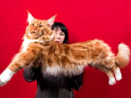 races de chats les plus grands