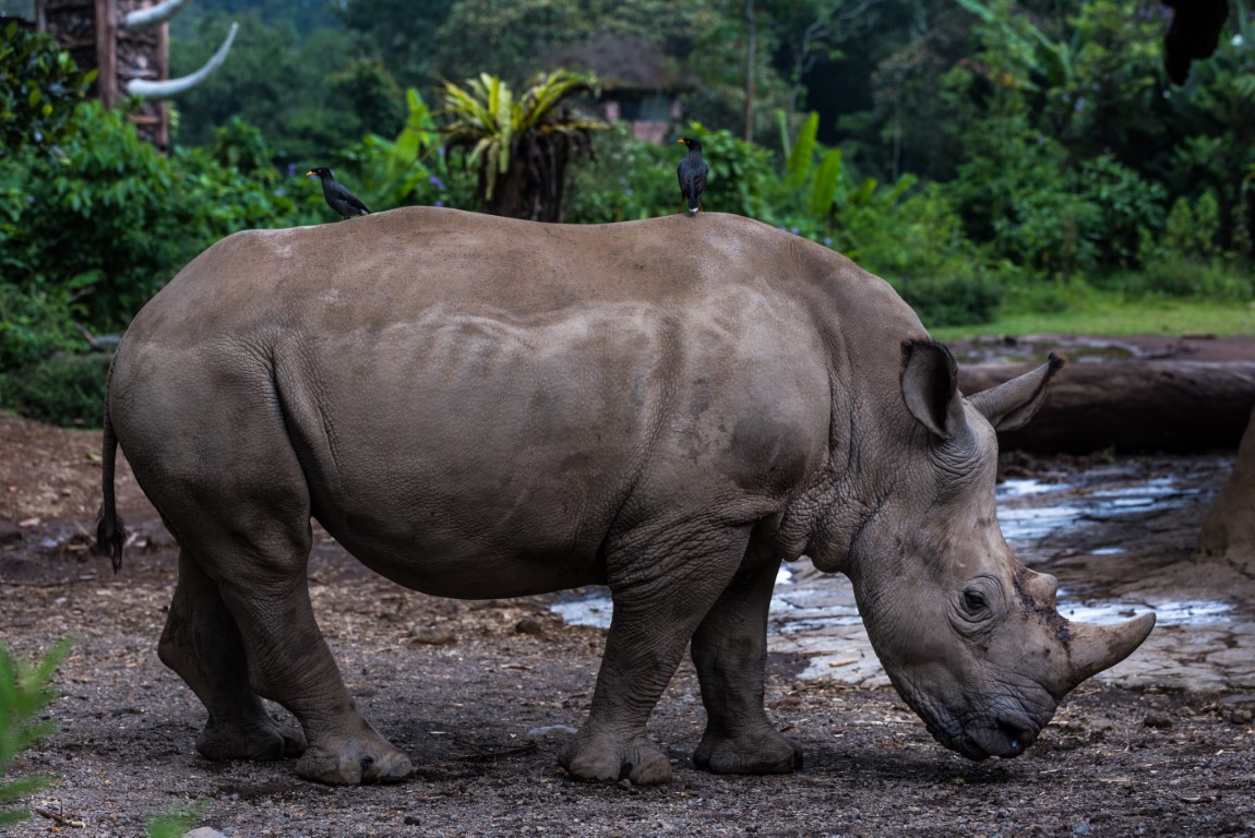 rhinocéros de Java