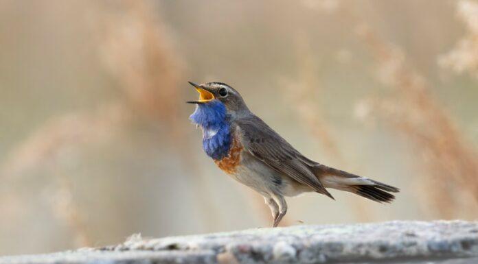 TOP des oiseaux chanteur qui chantent le mieux