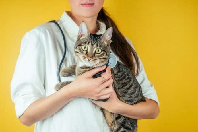 castration chez le chat