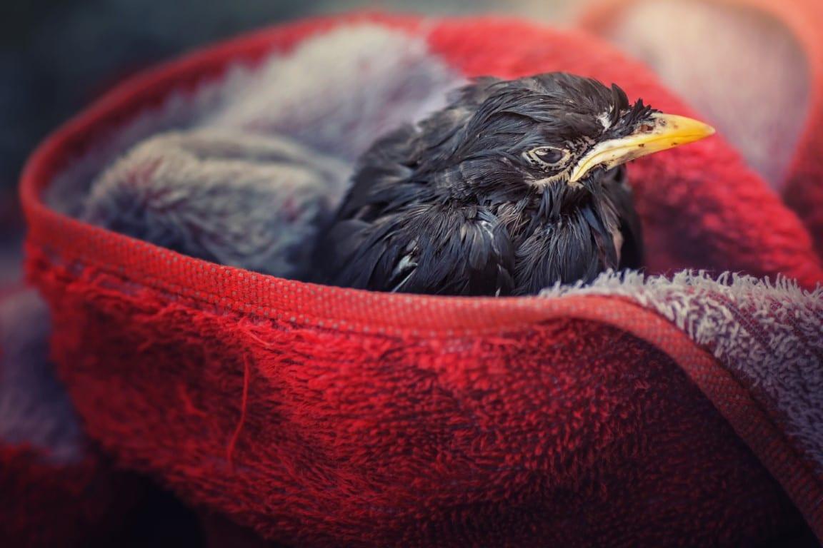 prendre soin d'un oiseau blessé