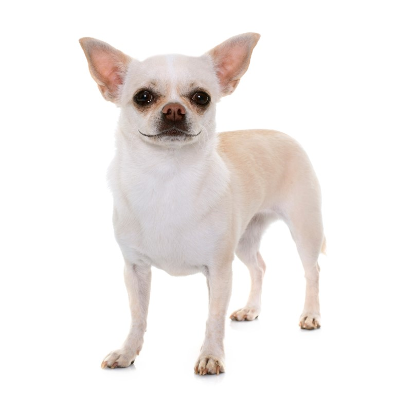 race petit chien blanc Chihuahua