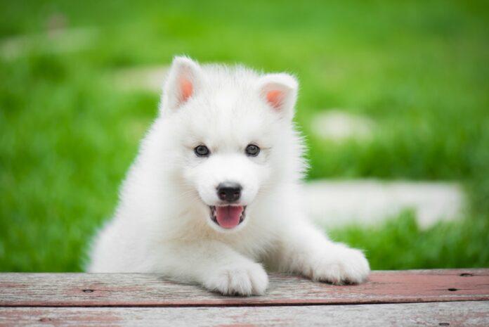races de petit chien blanc