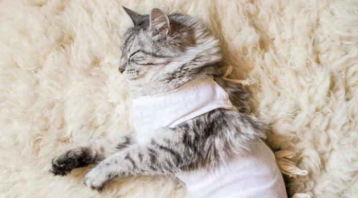 stérilisation de la chatte