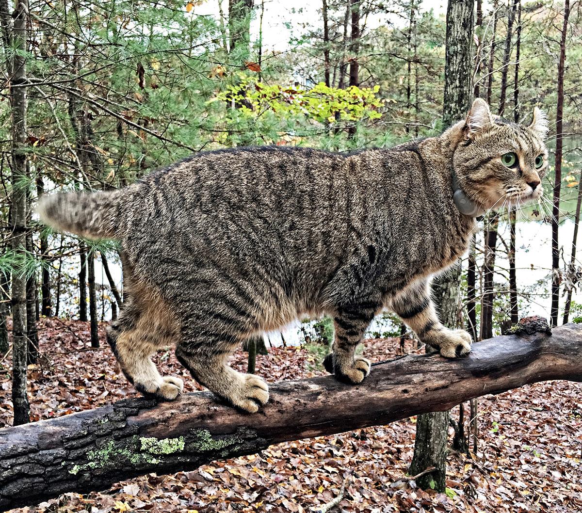 Highlander Cat géant