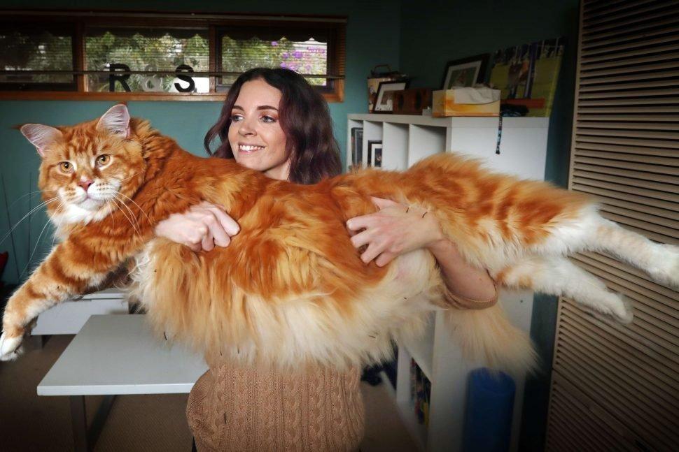 chat Norvégien le plus gros du monde
