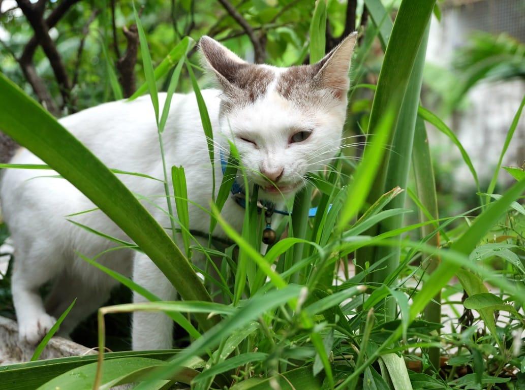 chat qui mange une plante dangereuse