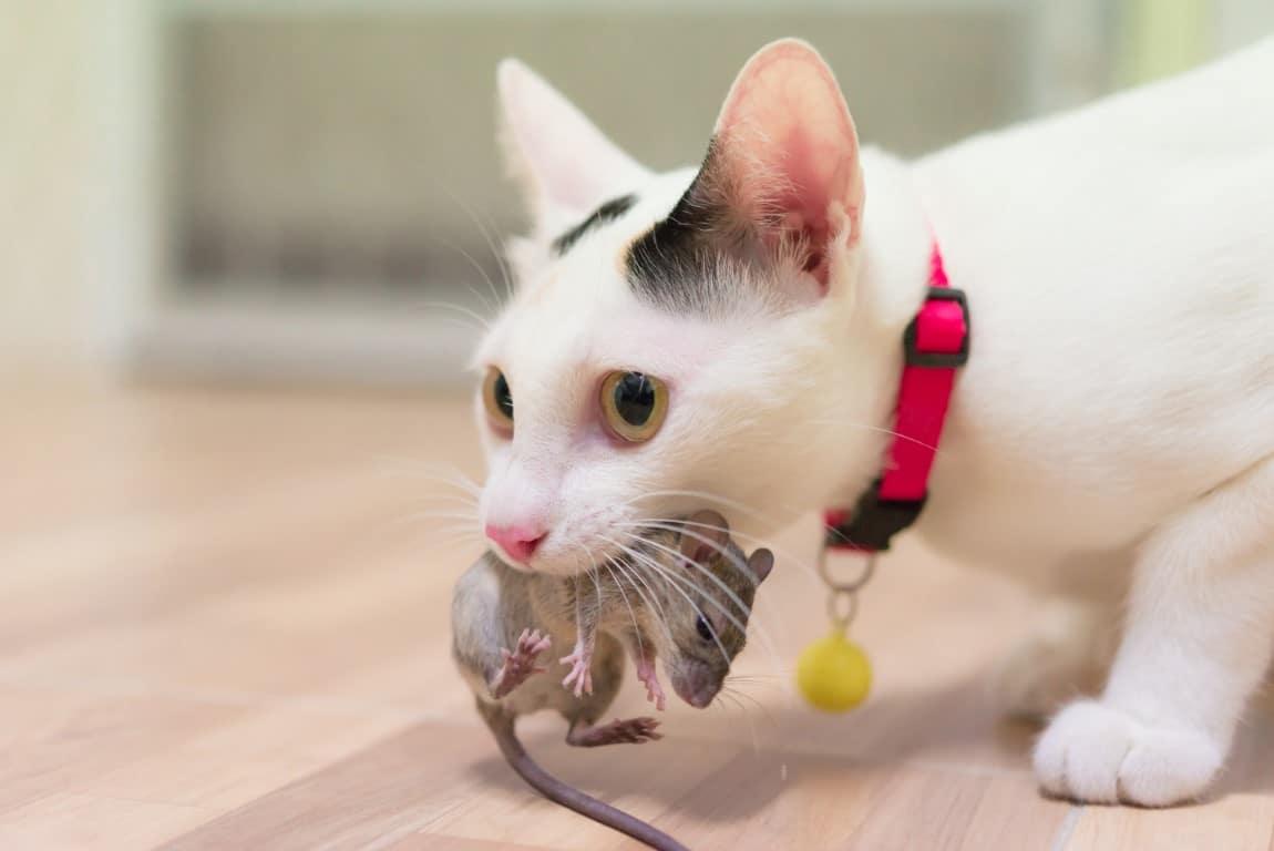 chat qui mange une souris risque alimentaire