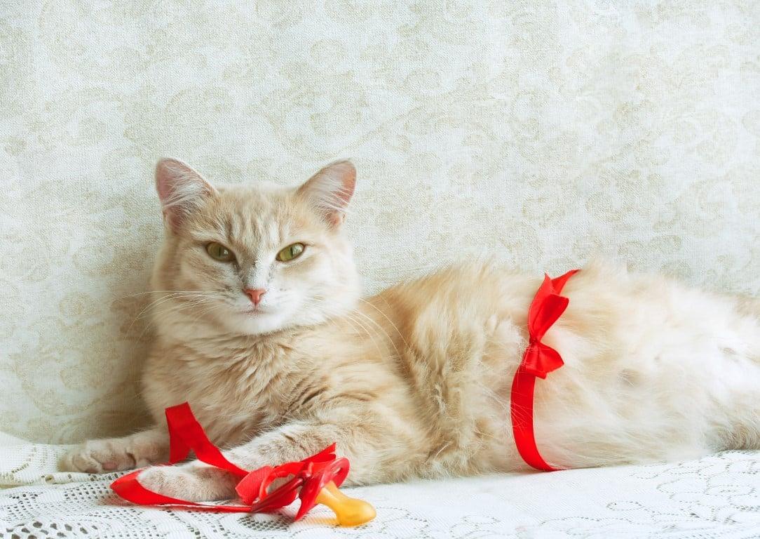 gestation chat femmelle