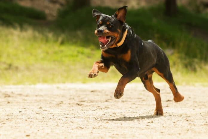 Chiens méchants top 10 des races de chiens les plus dangereux