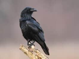 Corbeau domestique est-il possible d'avoir un corbeau apprivoisé