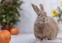 Quelle est la durée de vie d'un lapin