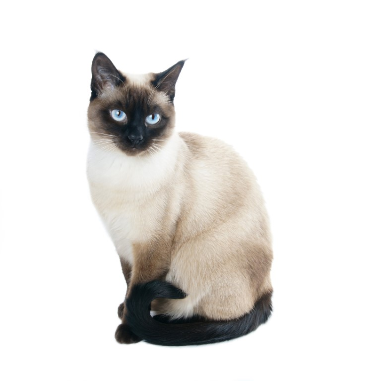 caractéristiques du chat Thaï