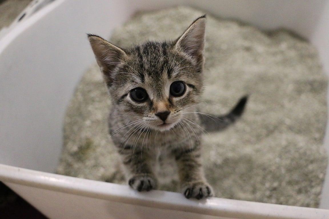chaton dans sa litère