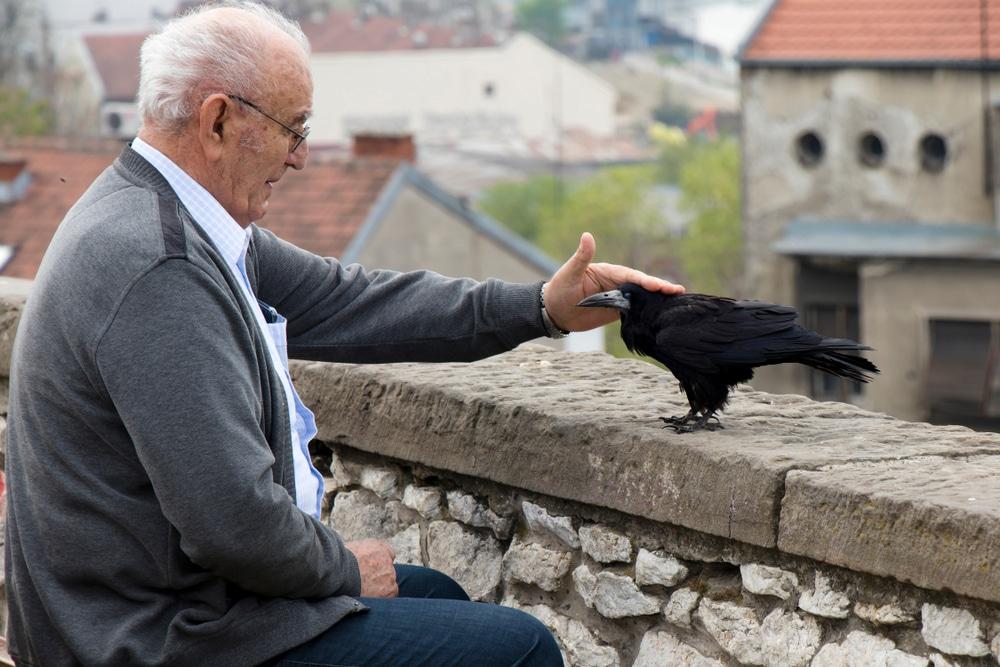corbeau apprivoisé