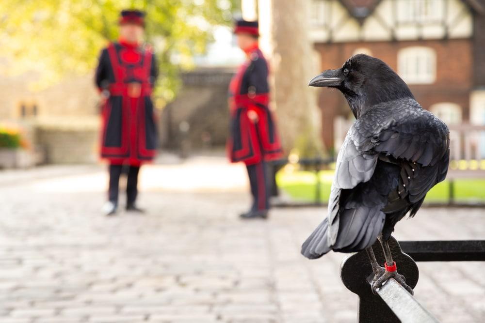 corbeau domestique