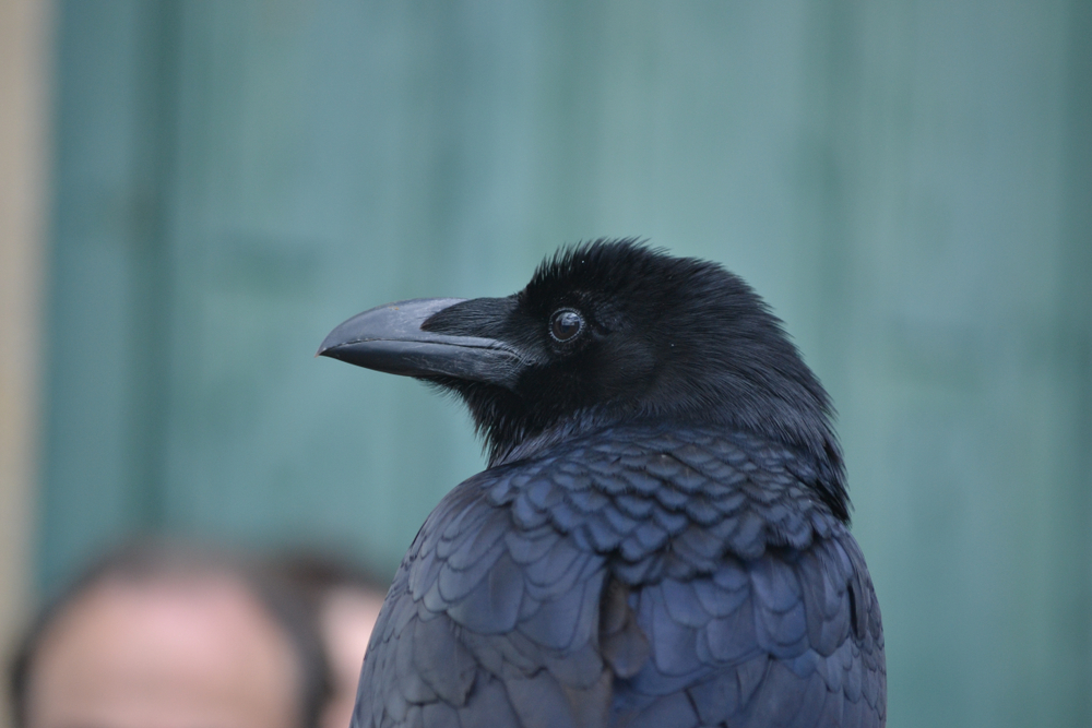 dresser un corbeau