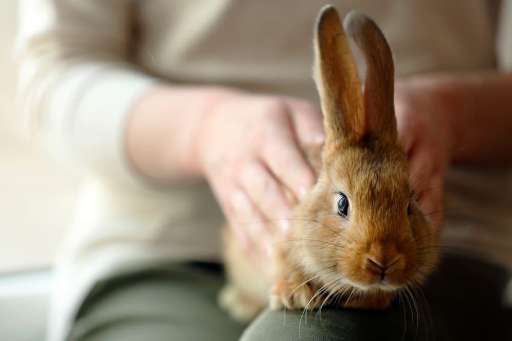 durée vie lapin