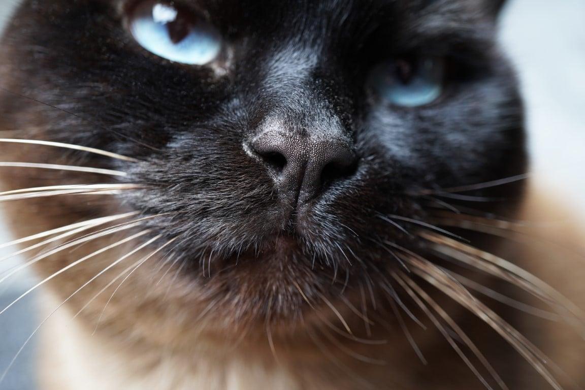 reconnaître un chat Thaï
