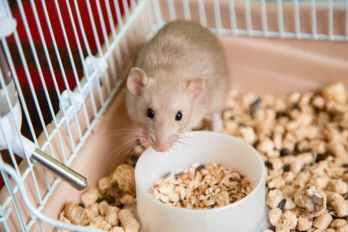 Rat domestique que savoir avant de l'adopter