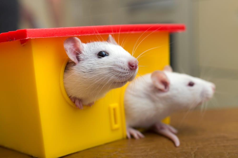 rats domestiqués