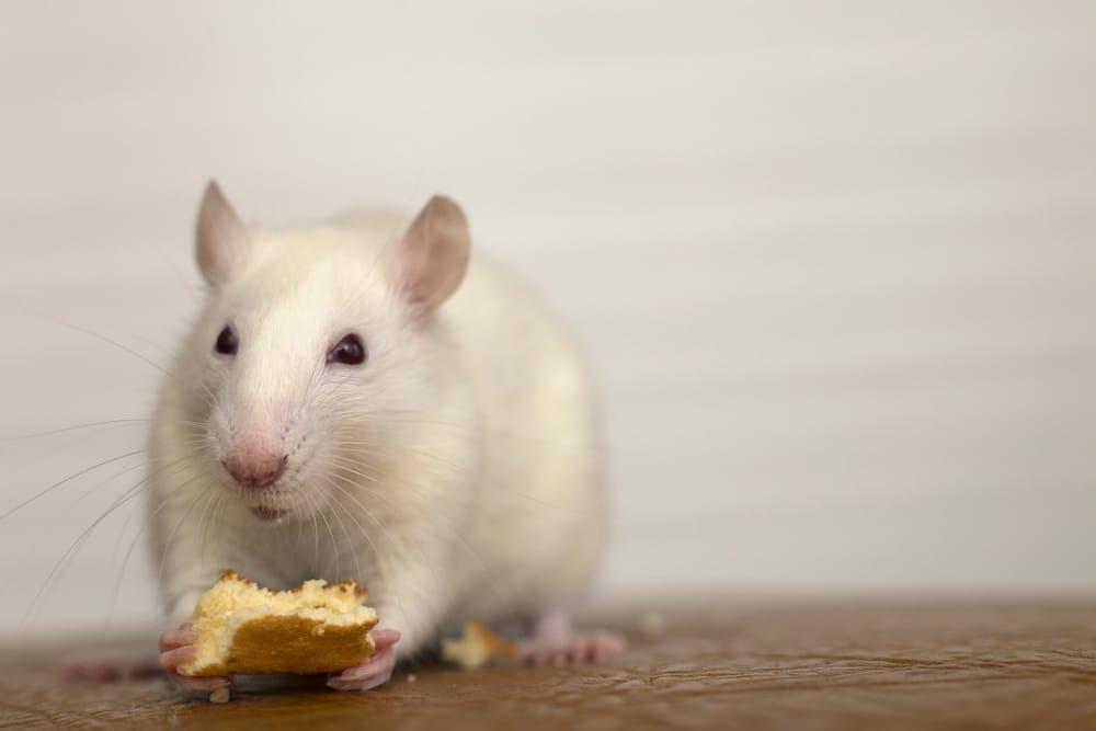 un rat domestique