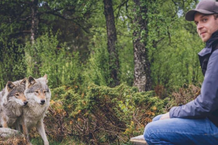 Loup domestique est-il possible d'avoir un loup apprivoisé